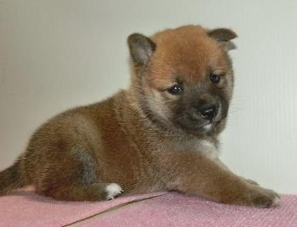 柴犬の子犬(ID:1252911180)の2枚目の写真/更新日:2017-02-27