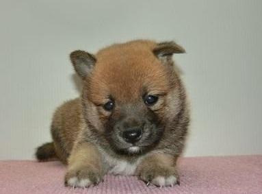 柴犬の子犬(ID:1252911180)の3枚目の写真/更新日:2017-02-27