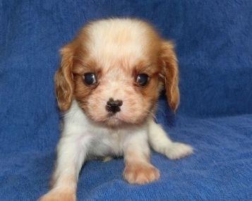 キャバリアの子犬(ID:1252911181)の1枚目の写真/更新日:2019-11-30