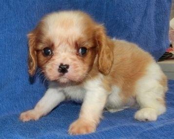 キャバリアの子犬(ID:1252911181)の3枚目の写真/更新日:2017-03-27