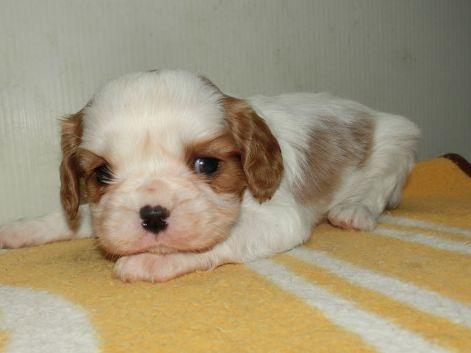 キャバリアの子犬(ID:1252911182)の1枚目の写真/更新日:2017-03-27