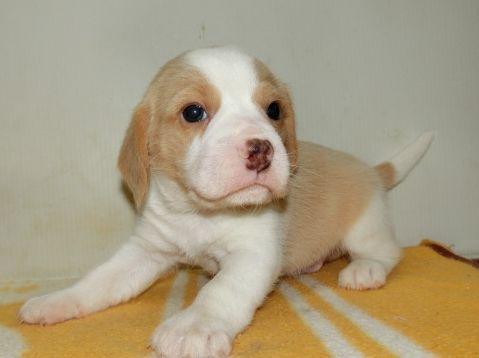 ビーグルの子犬(ID:1252911183)の1枚目の写真/更新日:2017-04-20