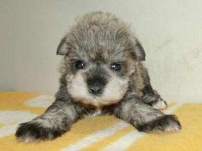 ミニチュアシュナウザーの子犬(ID:1252911184)の1枚目の写真/更新日:2017-04-20