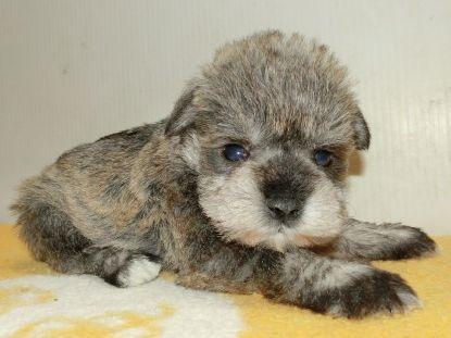 ミニチュアシュナウザーの子犬(ID:1252911184)の2枚目の写真/更新日:2017-04-20