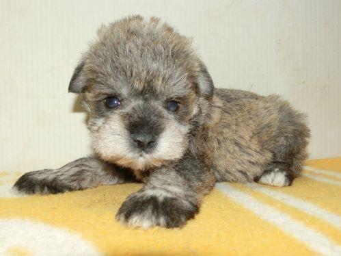 ミニチュアシュナウザーの子犬(ID:1252911184)の3枚目の写真/更新日:2017-04-20