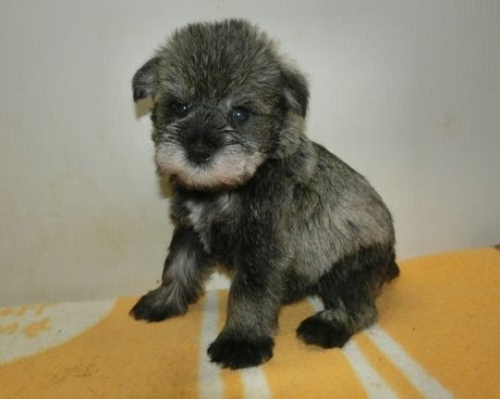 ミニチュアシュナウザーの子犬(ID:1252911186)の3枚目の写真/更新日:2017-04-20