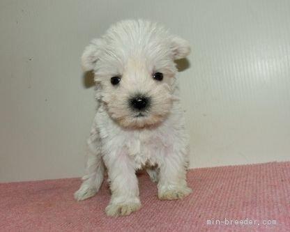 ミニチュアシュナウザーの子犬(ID:1252911189)の1枚目の写真/更新日:2020-03-31