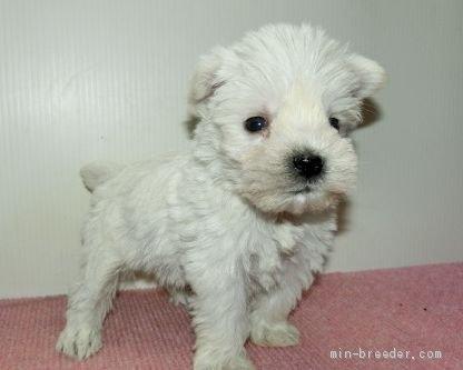 ミニチュアシュナウザーの子犬(ID:1252911189)の2枚目の写真/更新日:2020-03-31
