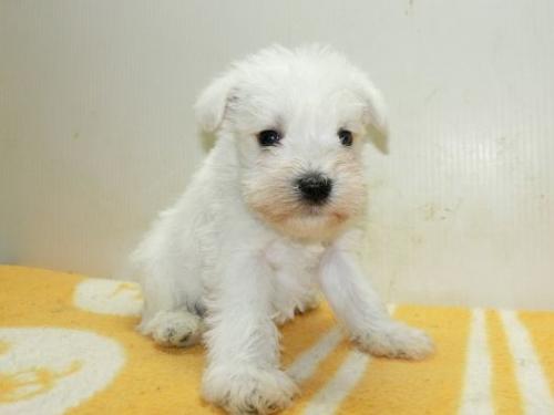 ミニチュアシュナウザーの子犬(ID:1252911190)の1枚目の写真/更新日:2017-05-15