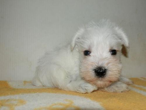 ミニチュアシュナウザーの子犬(ID:1252911190)の2枚目の写真/更新日:2017-05-15