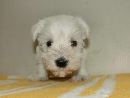 ミニチュアシュナウザーの子犬(ID:1252911191)の3枚目の写真/更新日:2017-05-15