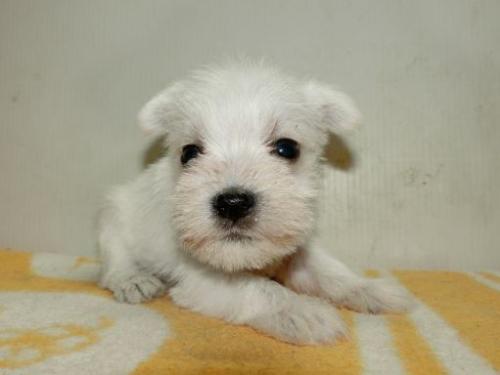 ミニチュアシュナウザーの子犬(ID:1252911192)の1枚目の写真/更新日:2017-05-15