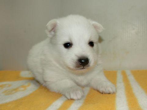 日本スピッツの子犬(ID:1252911193)の1枚目の写真/更新日:2017-05-15