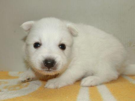 日本スピッツの子犬(ID:1252911193)の2枚目の写真/更新日:2017-05-15