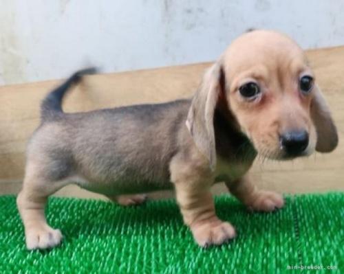 ミニチュアダックスフンド(スムース)の子犬(ID:1252911198)の2枚目の写真/更新日:2017-07-03