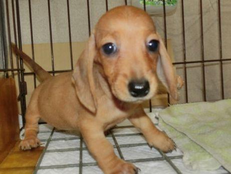 ミニチュアダックスフンド(スムース)の子犬(ID:1252911199)の1枚目の写真/更新日:2017-07-03