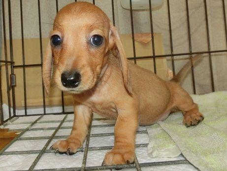 ミニチュアダックスフンド(スムース)の子犬(ID:1252911199)の2枚目の写真/更新日:2017-07-03