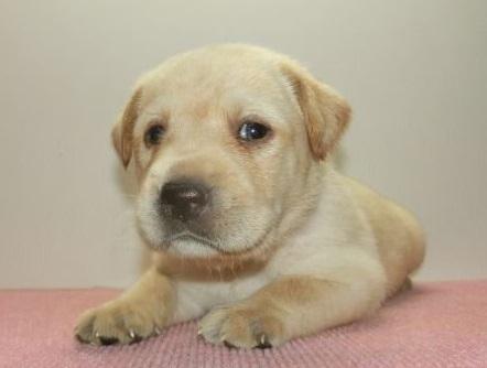 ラブラドールレトリバーの子犬(ID:1252911200)の1枚目の写真/更新日:2019-08-31