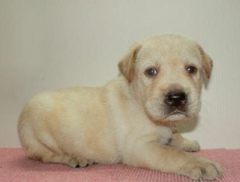 ラブラドールレトリバーの子犬(ID:1252911200)の2枚目の写真/更新日:2019-08-31