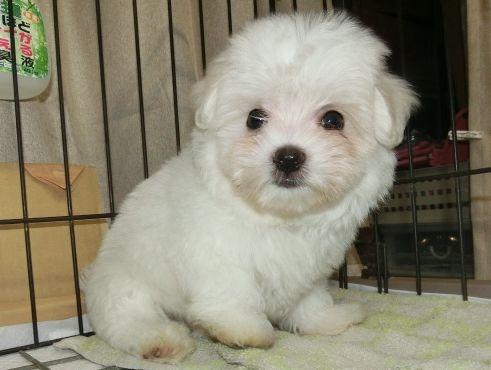 マルチーズの子犬(ID:1252911202)の1枚目の写真/更新日:2017-07-22