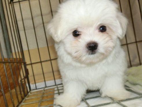 マルチーズの子犬(ID:1252911202)の2枚目の写真/更新日:2017-07-22