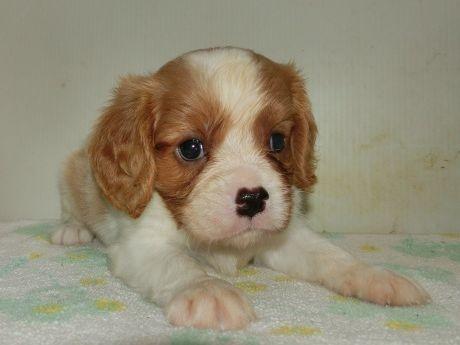 キャバリアの子犬(ID:1252911203)の1枚目の写真/更新日:2017-08-07