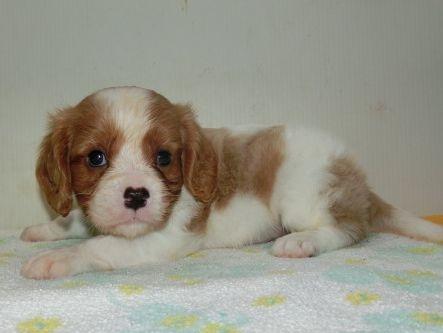 キャバリアの子犬(ID:1252911203)の2枚目の写真/更新日:2017-08-07