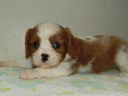 キャバリアの子犬(ID:1252911204)の2枚目の写真/更新日:2017-08-07