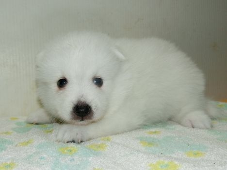 日本スピッツの子犬(ID:1252911205)の1枚目の写真/更新日:2017-08-07