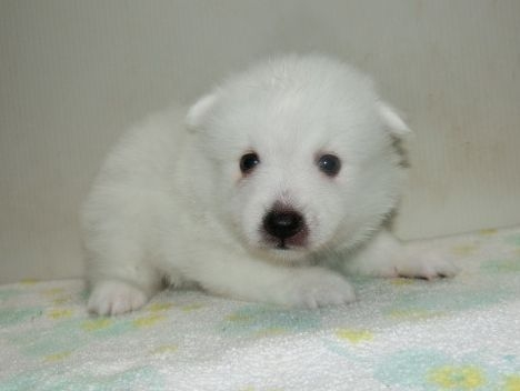 日本スピッツの子犬(ID:1252911205)の2枚目の写真/更新日:2017-08-07