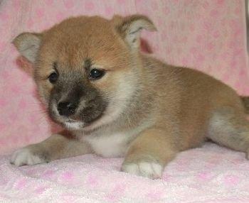 柴犬の子犬(ID:1252911206)の1枚目の写真/更新日:2017-09-11