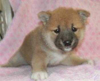 柴犬の子犬(ID:1252911206)の2枚目の写真/更新日:2017-09-11