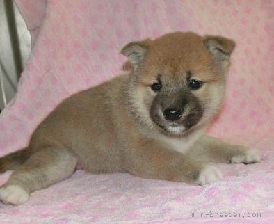 柴犬の子犬(ID:1252911206)の3枚目の写真/更新日:2021-04-05