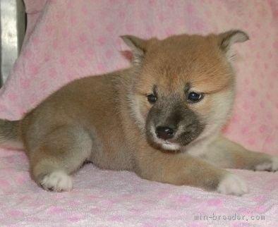 柴犬の子犬(ID:1252911206)の4枚目の写真/更新日:2021-04-05