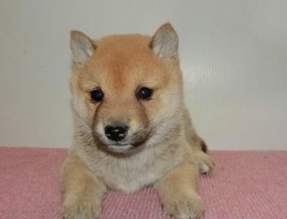 柴犬の子犬(ID:1252911207)の1枚目の写真/更新日:2017-09-11
