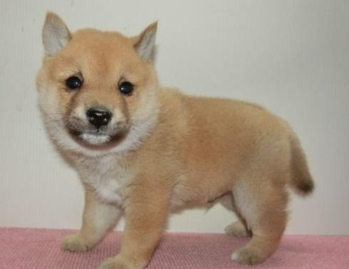 柴犬の子犬(ID:1252911207)の2枚目の写真/更新日:2017-09-11