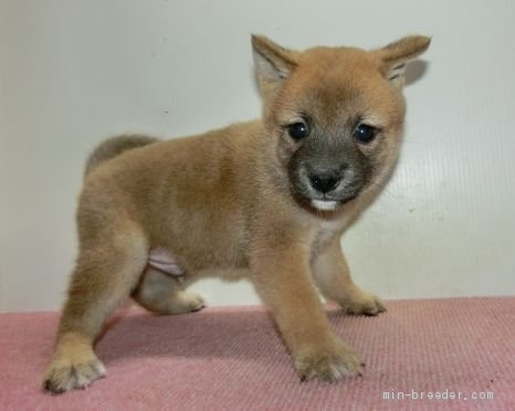 柴犬の子犬(ID:1252911208)の1枚目の写真/更新日:2020-10-07