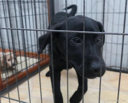 ラブラドールレトリバーの子犬(ID:1252911211)の2枚目の写真/更新日:2017-09-23
