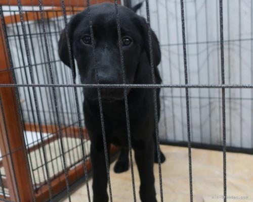ラブラドールレトリバーの子犬(ID:1252911211)の3枚目の写真/更新日:2017-09-23