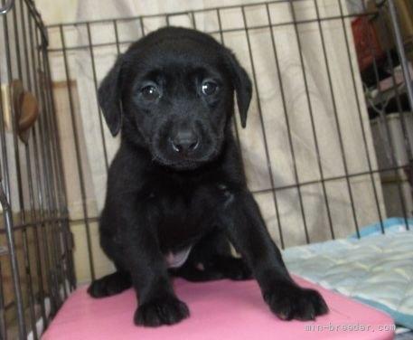 ラブラドールレトリバーの子犬(ID:1252911212)の1枚目の写真/更新日:2020-02-17