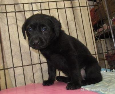 ラブラドールレトリバーの子犬(ID:1252911212)の2枚目の写真/更新日:2020-02-17