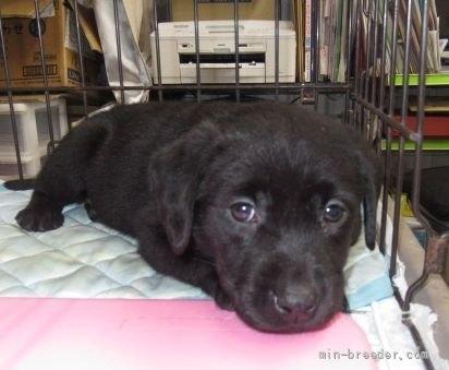 ラブラドールレトリバーの子犬(ID:1252911212)の3枚目の写真/更新日:2020-02-17
