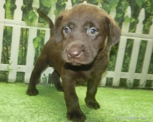 ラブラドールレトリバーの子犬(ID:1252911213)の2枚目の写真/更新日:2017-09-23