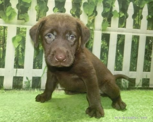 ラブラドールレトリバーの子犬(ID:1252911213)の3枚目の写真/更新日:2021-10-04