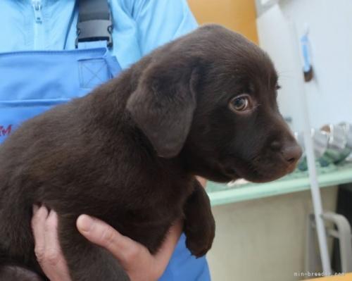 ラブラドールレトリバーの子犬(ID:1252911213)の4枚目の写真/更新日:2021-10-04