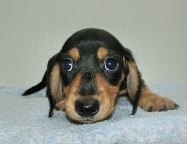 ミニチュアダックスフンド(ロング)の子犬(ID:1252911215)の1枚目の写真/更新日:2017-09-23