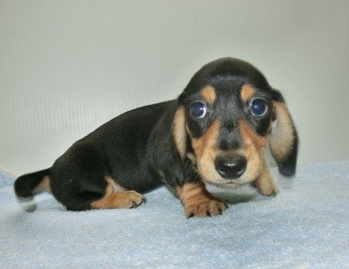 ミニチュアダックスフンド(ロング)の子犬(ID:1252911215)の2枚目の写真/更新日:2017-09-23