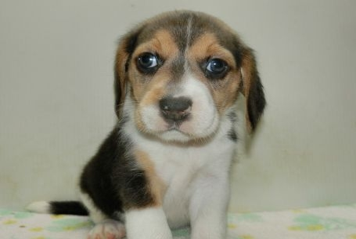 ビーグルの子犬(ID:1252911216)の2枚目の写真/更新日:2017-09-29
