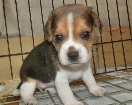 ビーグルの子犬(ID:1252911217)の1枚目の写真/更新日:2018-08-15
