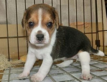 ビーグルの子犬(ID:1252911217)の3枚目の写真/更新日:2017-09-29